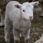 Lambsarevulnerabletoattacks