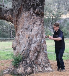 Peter Ridgeway measures the trunk of one of them.