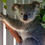 koalaanne2-2