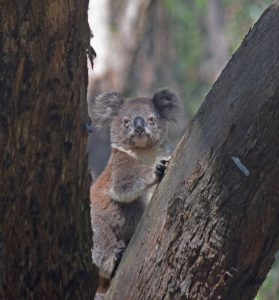 Conservation Volunteers Australia member Geoff Francis took photos of these local koalas while taking part in the Koala Conservation Project.
